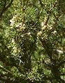 Adesmia pinifolia 2.jpg