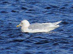 Adult Larus glaucoides, Swallow Pond 1.jpg
