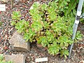 Aeonium gorgoneum - University of California Botanical Garden - DSC08937.JPG