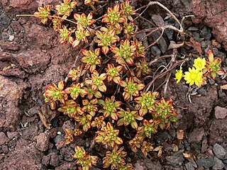 <i>Aeonium sedifolium</i> species of plant