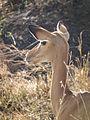 Aepyceros melampus Impala in Tanzania 3483 Nevit.jpg