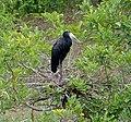 African Openbill (Anastomus lamelligerus) on nest (12011474563), crop.jpg