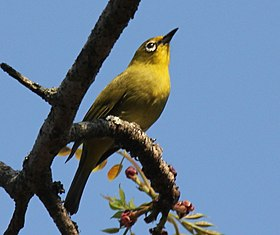 African Yellow White-eye RWD.jpg