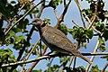 African mourning dove (Streptopelia decipiens perspicillata).jpg