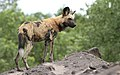 African painted dog, or African wild dog, Lycaon pictus at Savuti, Chobe National Park, Botswana. (32697850395).jpg