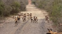 File:African wild dogs (Lycaon pictus) and puppies.webm