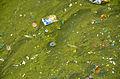 AfterFireworksPlanktonicCyanobacteriaInflorescenceLille2012 06.JPG