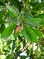 Agaete - Huerto de las Flores 3 Eierfrucht.jpg