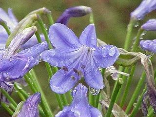 <i>Agapanthus</i> genus of plants