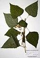Ageratina altissima BW-1979-0820-9949.jpg