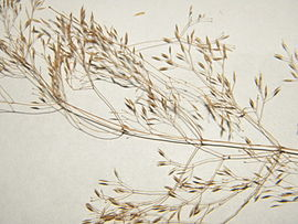 Agrostis ×murbeckii