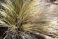 Agrostis lessoniana in Dunedin Botanic Garden 01.jpg