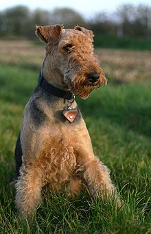 Airedale Terrier Show Dog