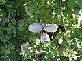 Akebia quinata (vine, fruits, flowers) 09.jpg