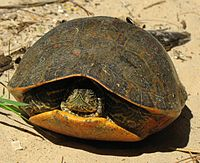 Una tortuga de vientre rojo con las extremidades retraídas y la cabeza en su mayor parte retraída con la cara puesta, arena sobre concha.