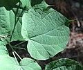 Alangium platanifolium var. trilobatum (leaf s5).jpg