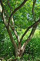 Albizia julibrissin trunk.jpg