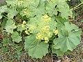 Alchemilla monticola plant (03).jpg