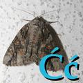 Alfabet zwierząt - literka Ć.png