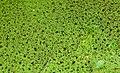 Algae IMG 4981.jpg - panoramio.jpg