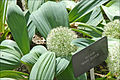Allium (Real Jardin Botanico, Madrid) (4657017661).jpg