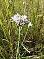 Allium angulosum sl8.jpg