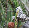 Allocasuarina Seed Pods - Freycinet National Park - Flickr - brewbooks.jpg