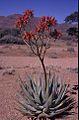 Aloe, Namibia (5167024213).jpg