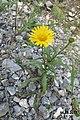 Alpine flora (Mit) (37627737930).jpg