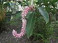 Alpinia purpurata20020311 2.JPG