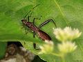 Alydidae (Heteroptera) from W-Papua (5406914315).jpg
