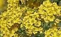 Alyssum montanum 03.jpg