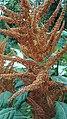 Amaranthus hypochondriacus L.-4F.jpg