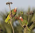 Amazona leucocephala -Matanzas, Matanzas Province, Cuba -two-8.jpg