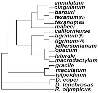 Mole salamander - Phylogenetic tree showing relations among Ambystoma species and outgroups: For example, the sister taxon to Ambystoma macrodactylum is Ambystoma laterale, meaning they share a single common ancestor and are each other's closest living relatives.