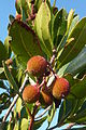 Ameixial - strawberry tree Arbutus unedo fruit (13532184725).jpg