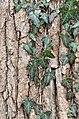 American Sweetgum Liquidambar styraciflua Bark Vines.JPG
