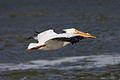 American White Pelican fl 7084.jpg