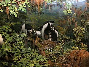 AMNH Exhibitions Lab - The 2003 mammal revitalization project reconstructed the colobus monkey diorama.
