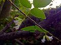Amphicarpaea bracteata - Hog Peanut.jpg