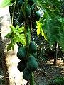 Amruta Bhanda papaya in Odisha Village.jpg