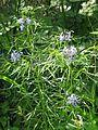 Amsonia hubrichtii - Flickr - peganum (4).jpg