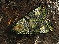 Anaplectoides prasina - Green arches - Большая зеленоватая совка (40370329974).jpg