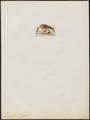 Anas cristata - 1820-1863 - Print - Iconographia Zoologica - Special Collections University of Amsterdam - UBA01 IZ17600403.tif