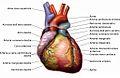 Anatomia del cuore.jpg