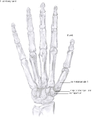 Anatomy of the hand.png