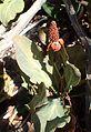 Anemopsis californica kz2.jpg