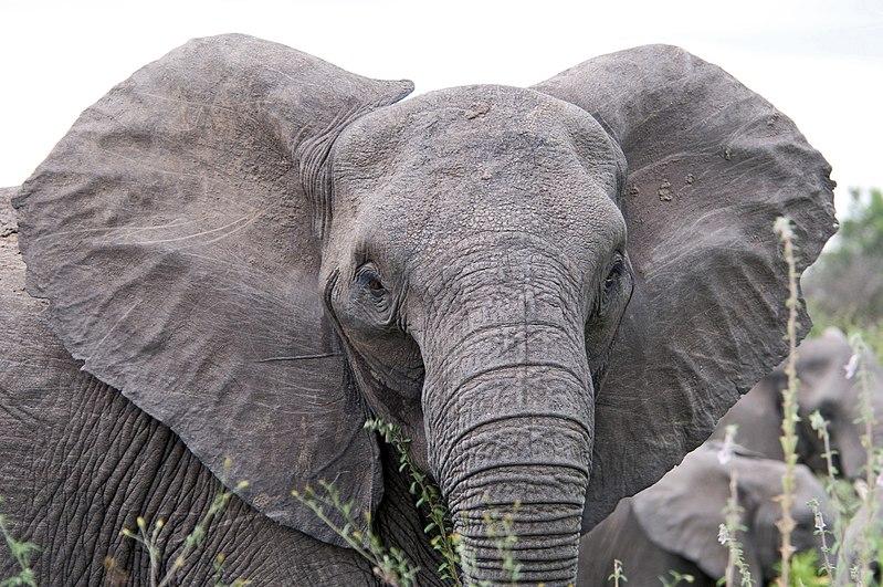 Benarkah gajah takut lebah?