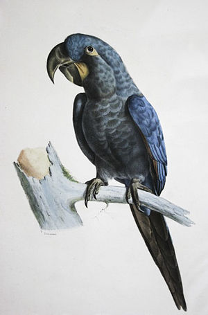 Glaucous macaw - Illustration by Bourjot Saint-Hilaire