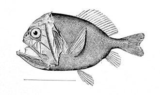 Acanthopterygii - Image: Anoplogaster cornuta